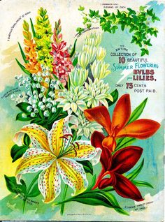 Summer Bulbs Lilies Vintage Flowers Seed Packet Catalogue