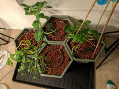 Transplanting: A Tomatillo Adventure, Part 2 of 3