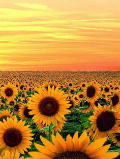 Love Sun flowers
