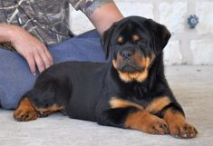Beautiful Rottweiler, that is a georgous face, that guy looks like a true show dog