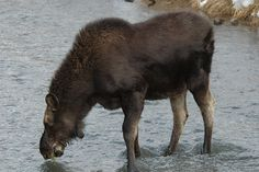 CroydenMoose   Endless Wildlife