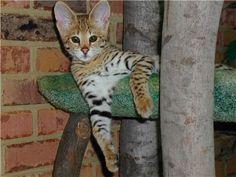 Ashera Cat...very exotic