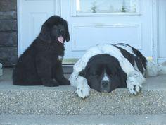 Newfoundland Dogs in Alberta