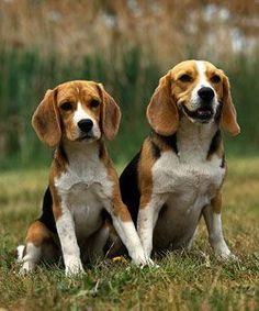 Beagles – Beagle Puppies for Sale Everything you need to know about beagles