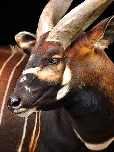 The bongo (Tragelaphus eurycerus) is a herbivorous, mostly nocturnal forest ungulate. It is among the largest of the African forest antelope species.Bongos are characterised by a striking. Amazing Animals, Big Animals, Rare Animals, Animals Beautiful, Animals And Pets, Exotic Animals, Strange Animals, Regard Animal, Tier Fotos