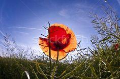 poppy flower in meadow in morning light stock photo © Joerg Hackemann (meinzahn) ( Morning Light, Poppy, Cool Photos, Royalty Free Stock Photos, Illustration, Flowers, Plants, Image, Illustrations