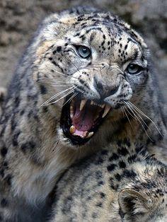 Редкие Животные, Ягуар, Красивые Кошки, Большие Кошки, Милые Котики, Дымчатый Леопард, Дикие Животные, Фотографии Природы, Фото Животных