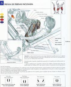 Si hay una máquina que es ideal para trabajar bien todos los músculos de las piernas (a excepción de los gemelos) sin duda es la prensa de piernas inclinada ya que al estar inclinada es aún mas eficaz q...