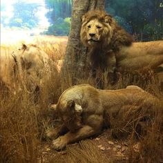 Lions in the Akeley Hall of African Mammals via @dzel_the_gift • Instagram