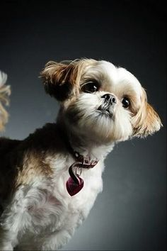 Shih Tzu  Please like, repin or follow us on Pinterest to have more interesting things.Thanks. http://hoianfoodtour.com/