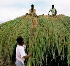 Savannahs are similar to temperate grasslands. But they have more trees and shrubs and receive more rain. Here, boys in Mozambique thatch a roof with elephant grass.    Plants Around the World   Kids Discover