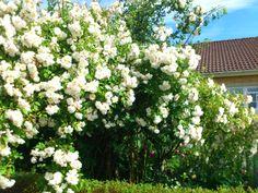 Honungsros i min trädgård