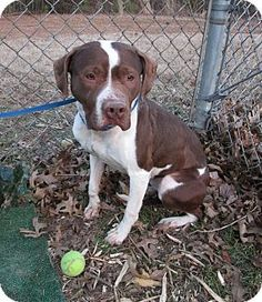 Marietta, GA - Pit Bull Terrier/Pointer Mix. Meet SASSY a Dog for Adoption.