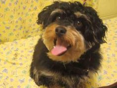 CODY is an adoptable Yorkshire Terrier Yorkie Dog
