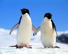 Cool Penguin Fact # 1:    Penguins have no need for fresh water. They can drink the salty ocean water, since special glands (supraorbital glands) in their bodies can separate salt from water.