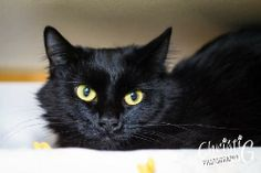 This is Judy. She is a beautiful 2 year old medium hair mix kitty looking for her purr-fect family to adopt her and treat her with all the love she deserves. She is a bit on the shy side and will do best in a home that is very mellow, without a lot...