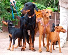 left to right: miniature pinscher, doberman pinscher, german pinscher and miniature pinscher <3 Love all of these breeds