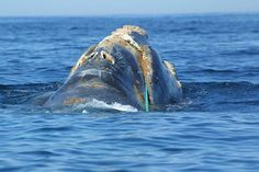 Record-Breaking! 112 Endangered North Atlantic Right Whales Spotted in Cape Cod Bay