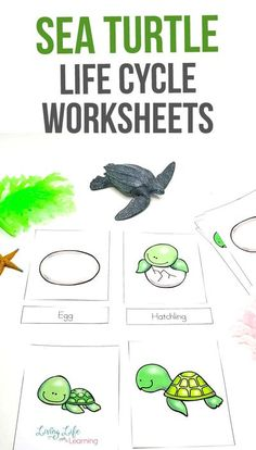 Have fun learning about sea turtles with these adorable sea turtle life cycle worksheets. See the parts of a sea turtle, their life cycle stages and discover how they grow from an egg to an adult. Perfect for ocean lovers. #seaturtles #lifecycleactivities #homeschoolscience