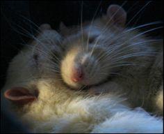 Pet Rat Rescue Leeny loves Ratties!