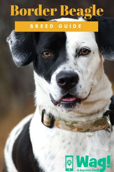 Are you interested in a Beagle? Well, the Beagle is one of the few popular dogs that will adapt much faster to any home. Whether you have a large family, playfu Beagle Dog Breed, Art Beagle, Beagle Puppy, Pet Dogs, Most Popular Dog Breeds, Best Dog Breeds, Beagle Facts, Puppy Stages, Pocket Beagle