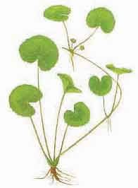 Gotu Kola (Centella asiatica)  Here's an herb with a long history of brain building. Gotu kola is a mainstay of herbal medicine in Ayurveda. Gotu kola strengthens memory, concentration, and intelligence, and promotes longevity.