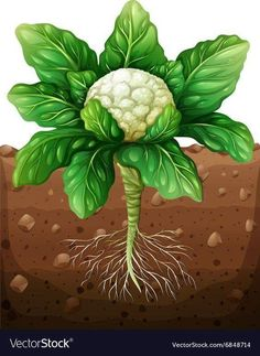 Cauliflower with roots in the ground Royalty Free Vector Broccoli Plant, Vegetable Drawing, Early Childhood Centre, Fruits Drawing, School Cartoon, Free To Use Images, Kids Play Area, School Decorations, Plant Growth