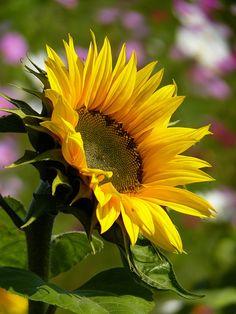 Sunflower Garden, Sunflower Flower, Yellow Sunflower, Amazing Flowers, Beautiful Flowers, Sunflower Quotes, Sunflower Photography, Sunflower Wallpaper, Botanical Illustration