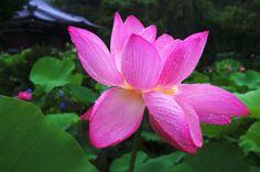 京都フォト通信: 雨に濡れた蓮の花 Hōkongō-in Temple, Ukō-ku, Kyōto Fujifilm Finepix X100 法金剛院(京都市右京区花園扇野町)