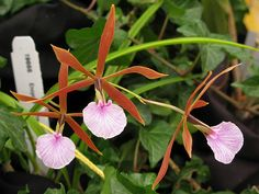 Encyclia bractescens - Flickr - Photo Sharing!