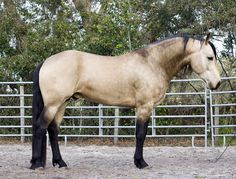 Buckskin Friesian Mix! Perfect combo