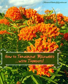 There once was a time when trying to transplant milkweed with long taproots meant certain death. Try these 8 tips when transplanting, and watch your transplants not only survive...but thrive for monarch butterflies!