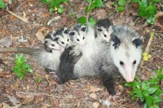Opossum mom and babies are cute and are another common animal around our property and woods.