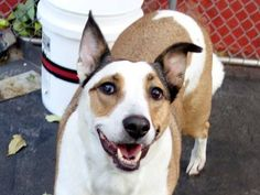 Manhattan Center   BELLA - A1019324   SPAYED FEMALE, WHITE / TAN, PIT BULL / GERM SHEPHERD, 6 yrs OWNER SUR - EVALUATE, NO HOLD Reason NYCHA BAN  Intake condition UNSPECIFIE Intake Date 10/31/2014, From NY 11232, DueOut Date 10/31/2014,  https://www.facebook.com/photo.php?fbid=898653596814187