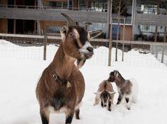 Vorstellung REKA Feriendorf Urnäsch  #Bauernhof #Ferien #Feriendorf #Kaninchen #Meerschweine #Ostschweiz #Pferde #Pony #REKA #Rekalino #Tiere #Ziegen Goats, Animals, Fiction, Bunnies, Pictures, Animales, Animaux, Animal, Animais