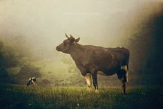 Animal Photography, Fine art farm life photography - Black and white cow pasture farm field print