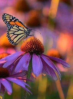 Very pretty butterfly & echinacea Orange Butterfly, Butterfly Flowers, Monarch Butterfly, Beautiful Butterflies, Beautiful Flowers, Butterfly Kisses, Butterfly Wings, Beautiful Creatures, Animals Beautiful