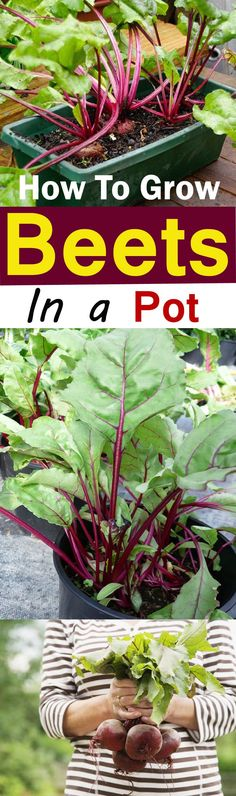 Growing Beets in Containers is easy. This quick growing vegetable doesn't require much care and perfect for beginner container gardeners.