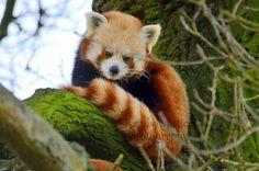 Hello beautiful. #RedPanda Animal Photography, Nature Photography, Red Panda, Hello Beautiful, Cute Animals, Fox, Bear, Amazing, Pandas