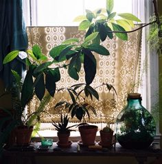 plants on a window sill and lace curtain