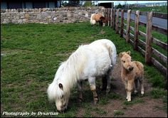 I received a white shetland pony for my birthday when I was 6 years old. Her name was Lady. What I remember about her is that she would dump me every time I rode her and go back home. She was very barn sour. I would still ride her though; didn't get tired of walking home I guess. She had a baby foal that was grey. His name was Keno.