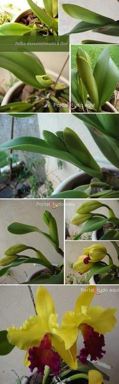 Tire as suas dúvidas de como plantar, cultivar, cuidar das mudas de orquídeas do grupo das Cattleyas para produzirem lindas flores.