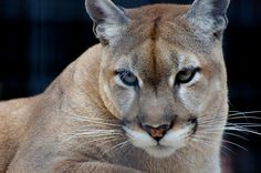 Florida Panther (Article:  Photographers Travel 1,000 Miles to Highlight the Importance of the Florida Wildlife Corridor