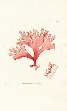 James Sowerby Botanical Seaweed Prints 1791