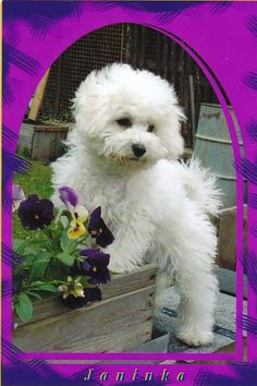 Bichon Frise dog art portraits, photographs, information and just plain fun. Also see how artist Kline draws his dog art from only words at drawDOGS.com #drawDOGS http://drawdogs.com/product/dog-art/bichon-frise-dog-portrait-by-stephen-kline/