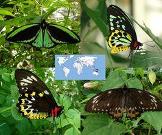 Common Green Birdwing   Ornithoptera priamus    Wingspan: 7.0 to 10.0 in Family: Papilionidae   Subfamily: Papilioninae  Photos © Ryan G. Fessenden