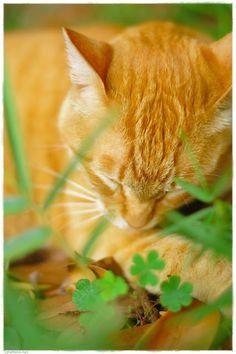 Sleeping orange cat