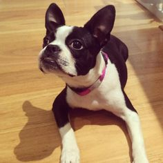 Showing Off her New Collar! - This is Panda Bear the Boston Terrier from Sydney, Australia.