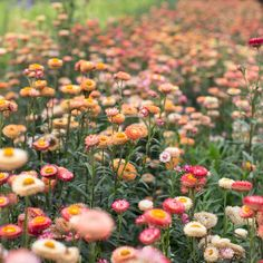 A versatile and textural addition to the cutting garden, strawflower can be used both fresh and dried for use in fall bouquets and wreaths. Shade Flowers, Fresh Flowers, Fall Flowers, Paper Daisy, Australian Native Flowers, Fall Bouquets, Autumn Wreaths, Flower Farm, Types Of Plants