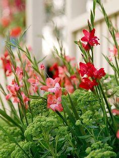 Summer plant combination ideas, Summer border ideas, Dwarf Gladiolus, Miniature gladiolus, Dwarf Sword-lily, Miniature gladioli Sword-lily